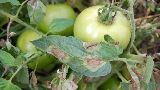 fitoftora na tomatah