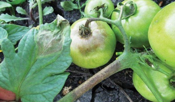 fitoftora na tomatah2