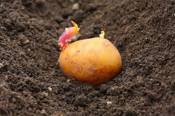 posadka kartofelya