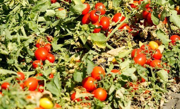 sladkie pomidori2