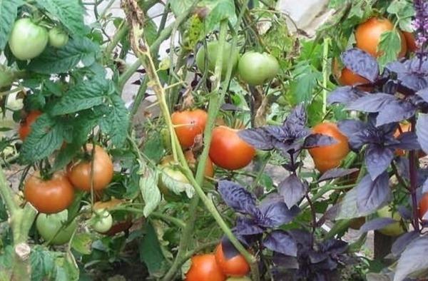 sladkie pomidori5