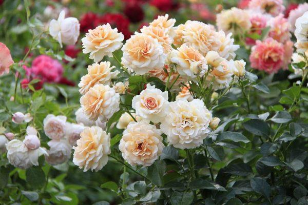 Розы не цветут? Мы поможем добиться пышного цветения до самых морозов