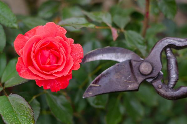 kak obrezaty rozi na zimu 3