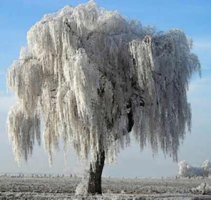 krasivie derevya zimoy 4