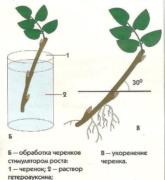 rozi iz cherenkov 2