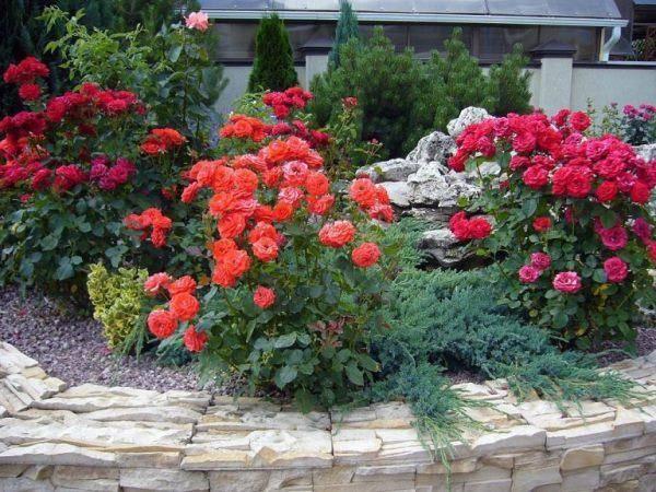 rozi iz cherenkov