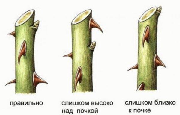 rozi iz cherenkov3