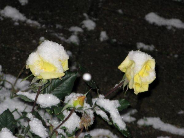 rozi na zimu 3