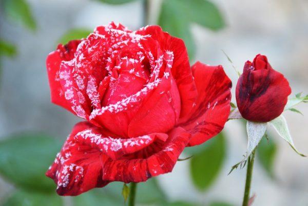 rozi na zimu