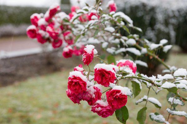 oshibki v uhode za rozami2