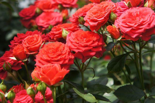 rozi cherenkovaniem